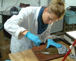 anna sturrock blood sampling plaice.jpg