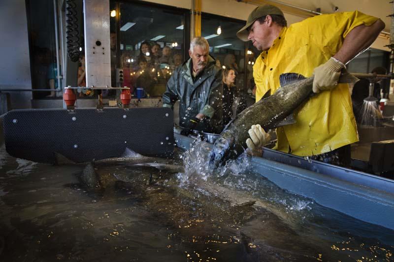 Salmon hatchery blog