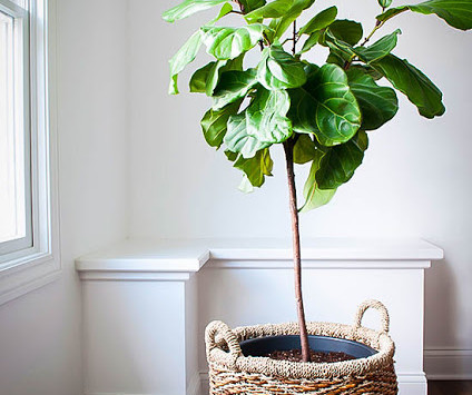 The fiddle-leaf fig tree