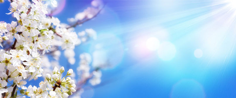 cherry blossom 4.jpg