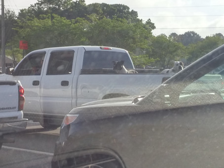 Dogs in Open Bed Pick-Up Trucks