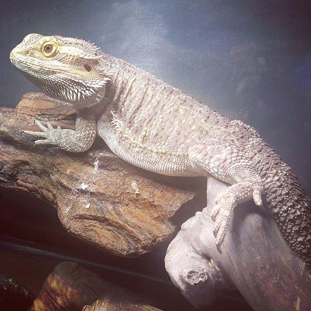 Saj Dragons