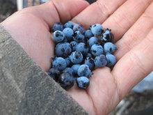 Mic & Chipps always find the best blueberries