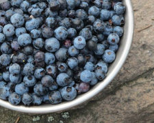 These Otts love their hand picked blueberries