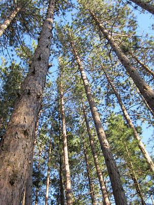 Beatiful pines