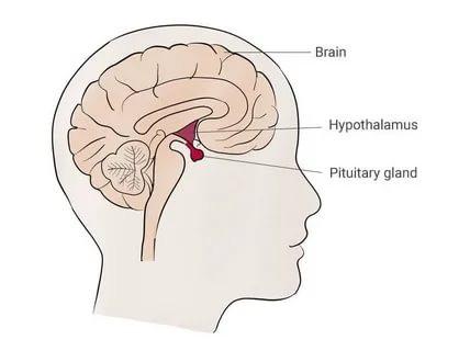 Hipofiz Bezi ve Hipofiz Tümörleri