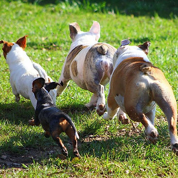 All ears facing forward towards fun! #dogranchresort #doggonfun #runningwild #dogsofinstagram