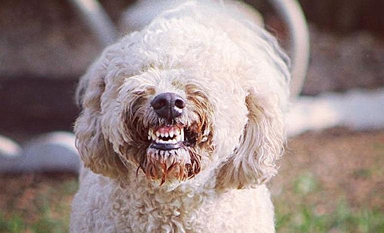Smile! It's almost the weekend! #dogranchresort #smileydoodle #dogsofinstagram #frankythedoodle #wee