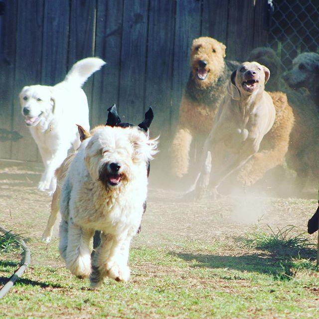 Lead the stampede! #dogranchresort #dogstampede #dogpack #runningfree