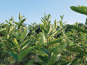 ERCA shares why monarch butterflies depend on milkweed