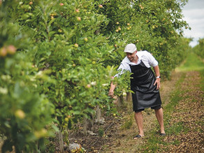 Caldwell First Nation planting five acres of Organic Heritage Apples