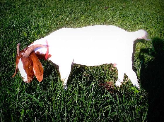 missouri boer goats
