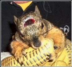 Squirrel with head injury.jpg