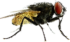 Common Fly.png