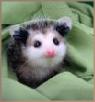 baby possum.png