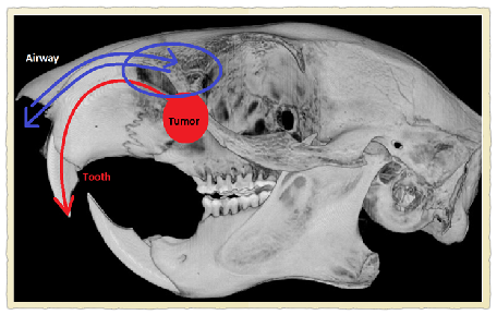 xray of Squirrel Odontoma.png