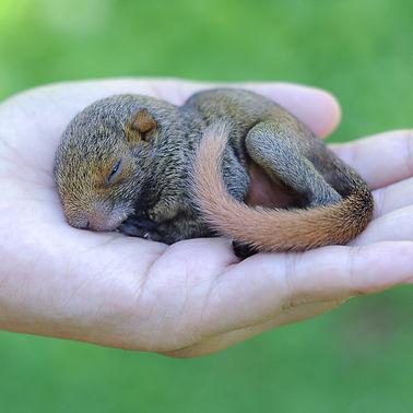 found baby squirrel in hand.jpg