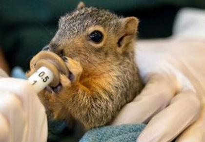 Syringe Feeding Squirrel.jpg