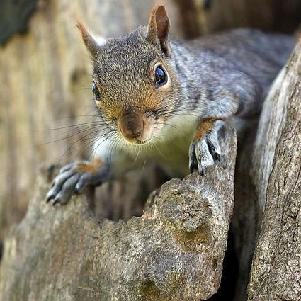 Rehabbing a Squirrel.jpg