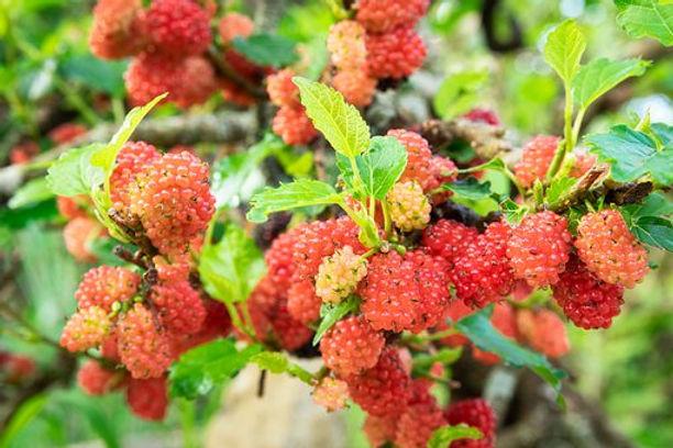 mulberry-4616906__340.jpg