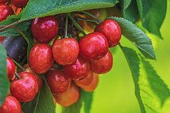 cherry-4258570_960_720.jpg