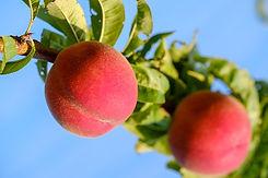 peaches-3550710__340.jpg