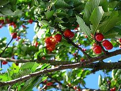 cherry-212601_960_720.jpg