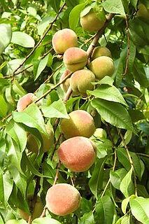 peaches-1586955__340.jpg