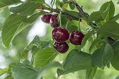 sour-cherries-3608278__340.jpg