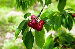 cherry-1437750_960_720.jpg