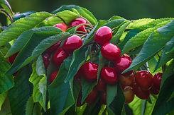 cherries-4893339_960_720.jpg