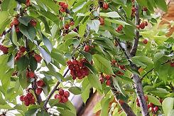 the-ripe-fruit-5219062_960_720.jpg