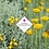 Thumbnail: Santolina chamaecyparissus