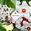 Thumbnail: Hoya carnosa 'Tricolour'