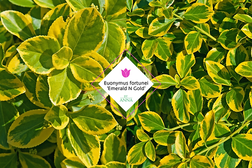 Euonymus fortunei 'Emerald N Gold'