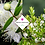 Thumbnail: Myrtus communis