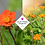 Thumbnail: Geum 'Totally Tangerine'