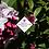 Thumbnail: Daphne x transatlantica 'Pink Fragrance'