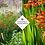 Thumbnail: Crocosmia × crocosmiiflora