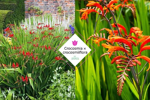 Crocosmia × crocosmiiflora