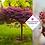 Thumbnail: Acer palmatum 'Osakazuki'