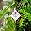 Thumbnail: Philodendron 'Xanadu'