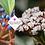 Thumbnail: Viburnum davidii 'Angustifolium'