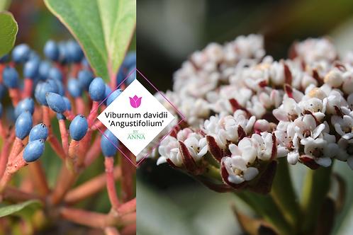 Viburnum davidii 'Angustifolium'