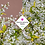 Thumbnail: Deutzia gracilis 'Nikko'