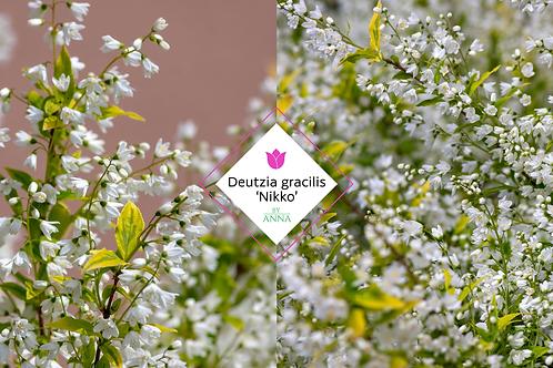 Deutzia gracilis 'Nikko'