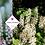 Thumbnail: Tiarella cordifolia
