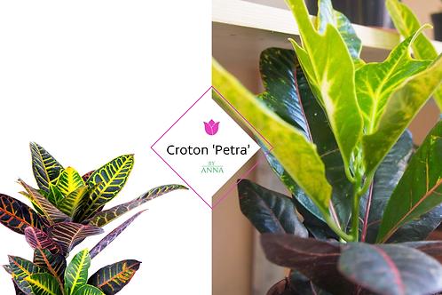 Codiaeum variegatum 'Petra'