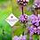 Thumbnail: Phlomis tuberosa 'Amazone'
