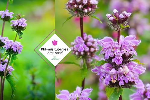 Phlomis tuberosa 'Amazone'